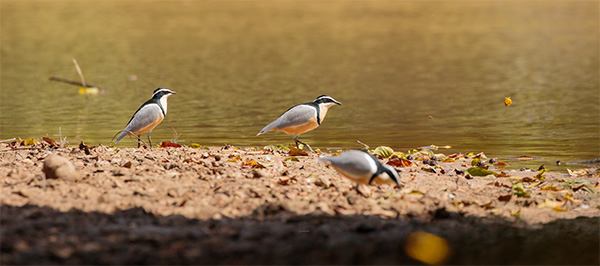 Egyptian Plovers by Justin Peter