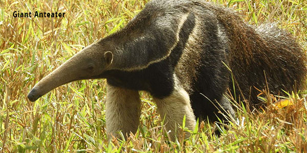 giant anteater pete read