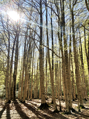 Beech forests of the Spanish Pyrenees