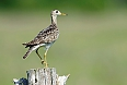 Upland Sandpiper  (Photo by: Justin Peter)