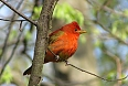 Young male Summer Tanager (Photo by: Ian Shanahan)