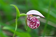 Spotted Lady's Slipper (Photo by: Paul Tavares)