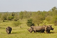 White Rhinoceros at Kruger National Park