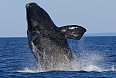 We could see whales - a breaching North Atlantic Right Whale would be a real treat! (photo: Dave Milsom)