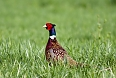The Ring-necked Pheasant is another inhabitant of pasturelands that we'll look for.