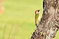 The Green Woodpecker is just one of several wooodpeckers we may see. This one spends a fair amount of time on the ground.