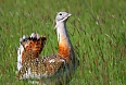 Great Bustards breed on the plains at Neudiedler See. With luck, we'll see males in full dislay mode.