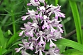 The Lady Orchis is just one of several orchids we can photograph (photo: Dave Milsom).
