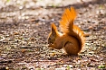 The European Red Squirrel, with its distinctively tufted ears, will be a delight in wooded areas.