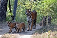 This mother Bengal Tiger with four cubs was a highlight of a previous tour! (photo: Fran Stewart)