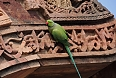The Rose-ringed Parakeet will be one of the first birds we see, even in urban Delhi (photo: Pete Read).