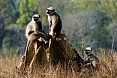 The Hanuman Langur (Grey Langur) is the most common primate. Troupes are ever-vigilant and on the lookout for danger.