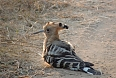 Bird life really is excellent in India. An Eurasian Hoopoe poses on the road ahead (photo: Pete Read)