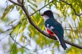 Cuba has many endemic birds as well. We should see the Cuban Trogon in the woodlands at Viñales and elsewhere.