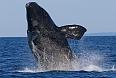 Right Whale Breach (photo by Tony Beck)