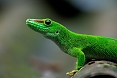 The Giant Madagascar Day Gecko in found in the north.