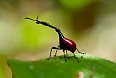 The Giraffe-necked Weevil is a bizarre endemic insect.