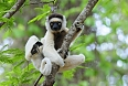 The Verreaux's Sifaka is found in the Isalo area.