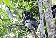 The vocalization of the Indri in Perinet will be a highlight! (photo: Pete Read)