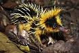 If we're lucky, we may spot some bizarre mammals on a night hike such as the Lowland Streaked Tenrec.