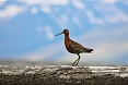 Black-tailed Godwit (photo by: Sherry Kirkvold)