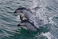 We may also spot smaller cetaceans such as the Pacific White-sided Dolphin, which may come right by our vessel.