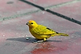 Saffron Finch in Lima
