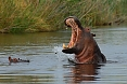 Eastwards, we will find animals such as Hippopotamus that require large permanent water bodies. (photo: Tony Beck)