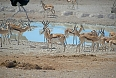 Springboks are ubiquitous in Namibia and congregate in large numbers at Etosha waterholes. (photo: Justin Peter)