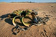 Welwitschia is a near-endemic plant found only in the Namib desert and easy to see in Damaraland. There is no other plant quite like it!