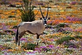 There could be fantastic photo opportunities. A Gemsbok among wildflowers would be spectacular!