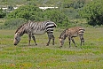 There are endemic mammals of great interest in West Coast as well. The Cape Mountain Zebra is a threatened mammal. Here, it finds a stronghold. (photo: Pete Read)