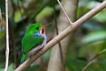 The Cuban Tody is a common endemic bird. It is fairly confiding. (photo: Josh Vandermeulen)