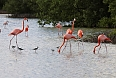 The American (Caribbean) Flamingos at Las Salinas - here with Black-necked Stilts - are a highlight of the Zapata area! (photo: Sherry Kirkvold)