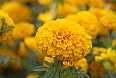 Bright yellow marigolds – a symbolic doorway from the underworld for their ancestors on the Day of the Dead