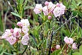 Bog Laurel (Photo by: Dave Milsom)