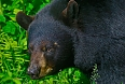 Black Bear (Taken by: Tony Beck)