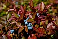 Fall is berry season at Fogo Island