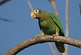 Yellow-billed Parrot (Photo by: Wayne Sutherland)