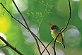 Jamaican Tody (Photo by: Justin Peter)
