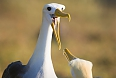 Waved Albatrosses breed on Española