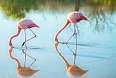 A small number of American Flamingos breed in the archipelago