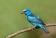 Blue Dacnis (Photo by: Arthur Morris)
