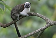Geoffroy's Tamarin (Photo credit: Doug Wechsler)