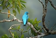 Blue Cotinga (Photo credit: Carlos Bethancourt)
