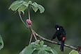 Scarlet-rumped Cacique (Photo credit: Doug Wechsler)