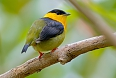 Golden-collared Manakin (Photo credit: Rafael Lau)