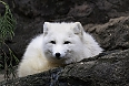 And we may see the Arctic Fox with its silky-soft winter coat