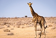 Giraffe at Ethosha National Park