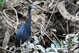 Little Blue Heron along the Tempisque River (Photo credit: ImagePerson)